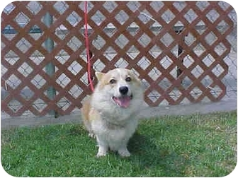 Corgi Dog for adoption in Lomita, California - Stuart
