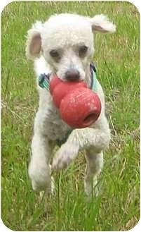 Poodle (Miniature)/Italian Greyhound Mix Dog for adoption in Tillamook, Oregon - Bongo