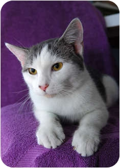 Domestic Shorthair Cat for adoption in New York, New York - Sanford