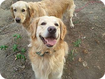 Golden Retriever Dog for adoption in Fort Hunter, New York - Jake