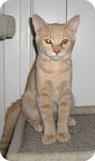 Domestic Shorthair Cat for adoption in Richmond, Virginia - Wills