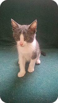 Domestic Shorthair Kitten for adoption in Orland Park, Illinois - Freya