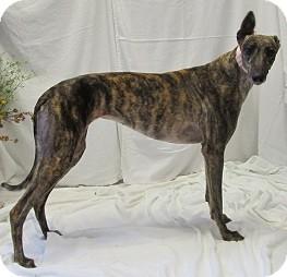 Greyhound Dog for adoption in Swanzey, New Hampshire - Angel