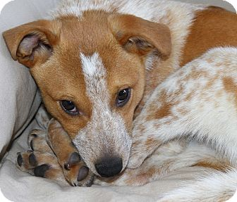 Australian Cattle Dog Mix Puppy for adoption in Delano, Minnesota - Cyrus