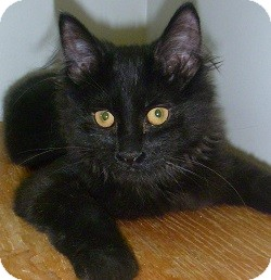 Domestic Longhair Kitten for adoption in Hamburg, New York - Scat Cat