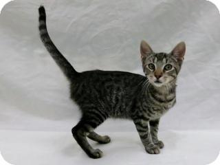 Domestic Shorthair Cat for adoption in Lufkin, Texas - Abbott