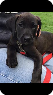 Boxer/Labrador Retriever Mix Puppy for adoption in New Oxford, Pennsylvania - Lexx