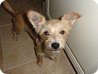 Terrier (Unknown Type, Small) Mix Dog for adoption in Astoria, New York - Zippy