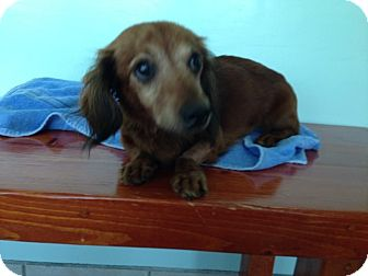 Dachshund Dog for adoption in Green Cove Springs, Florida - Alfie