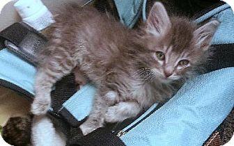 Domestic Longhair Kitten for adoption in HILLSBORO, Oregon - Casanova