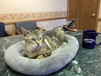 Bengal Cat for adoption in Riverside, California - Lavinia