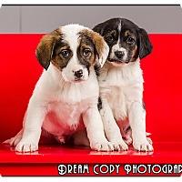 Adopt A Pet :: Starsky - Owensboro, KY