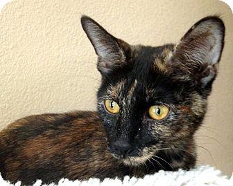 Domestic Shorthair Cat for adoption in Las Vegas, Nevada - Olivia