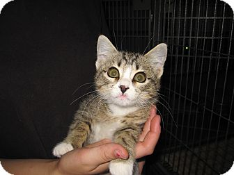 Domestic Mediumhair Kitten for adoption in Buffalo, Wyoming - Queen