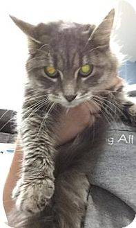 Domestic Longhair Cat for adoption in Oak Park, Illinois - Pearl