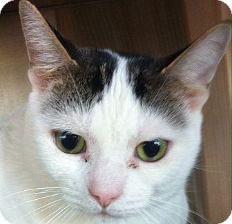 Domestic Shorthair Cat for adoption in Port Hope, Ontario - Deako
