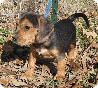 Beagle/Fox Terrier (Wirehaired) Mix Puppy for adoption in Newburgh, New York - Linus