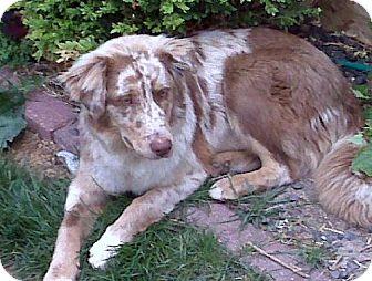 Australian Shepherd Dog for adoption in Bloomington, Illinois - Mocha