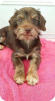 Schnauzer (Miniature)/Dachshund Mix Puppy for adoption in Lawrenceville, Georgia - Ranger