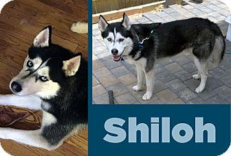 Siberian Husky Mix Dog for adoption in Boyertown, Pennsylvania - Shiloh