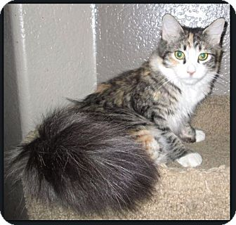 Maine Coon Cat for adoption in Gilbert, Arizona - Lovey
