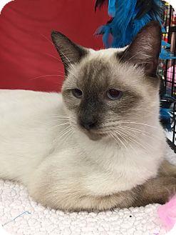Siamese Kitten for adoption in Houston, Texas - Chin