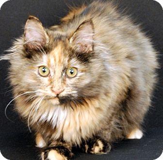 Tonkinese Cat for adoption in Newland, North Carolina - Maple