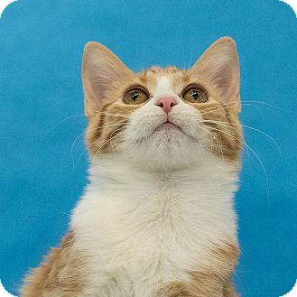 Domestic Shorthair Kitten for adoption in Houston, Texas - Katie