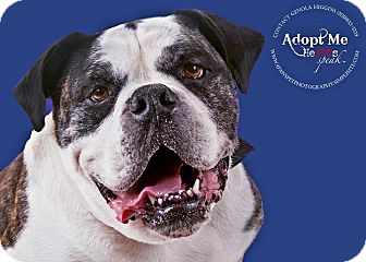 English Bulldog Dog for adoption in Sacramento, California - Duke