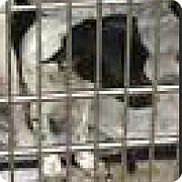 Adopt A Pet :: Harper - Boulder, CO