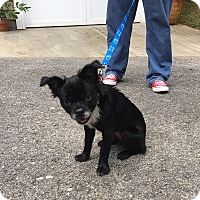 Adopt A Pet :: Kali RBF - Hagerstown, MD