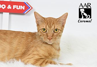 Domestic Shorthair Cat for adoption in Tomball, Texas - Caramel