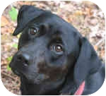 Labrador Retriever Mix Dog for adoption in Eatontown, New Jersey - Jewels