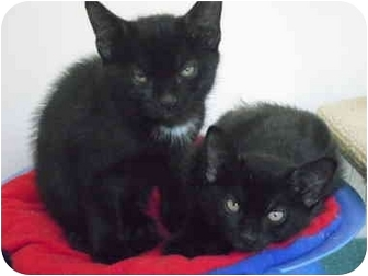 """Domestic Shorthair Kitten for adoption in New Fairfield, Connecticut - The """"L"""" Team"""
