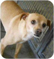 Chihuahua Mix Dog for adoption in San Clemente, California - HANDSOME