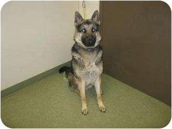 German Shepherd Dog Dog for adoption in Mill Creek, Washington - Rainier