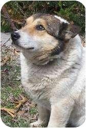 Corgi Mix Dog for adoption in Oakland, Arkansas - Ada