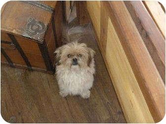 Shih Tzu/Maltese Mix Dog for adoption in Merritt, British Columbia - Shags