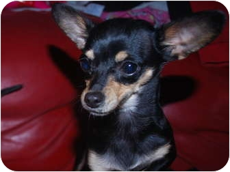 Chihuahua Mix Dog for adoption in Astoria, New York - Pip