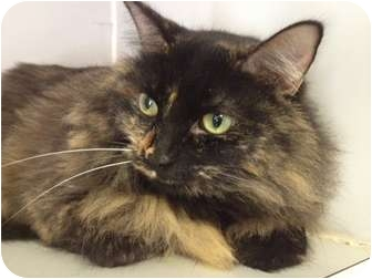 Domestic Longhair Cat for adoption in Houston, Texas - Cinnamon