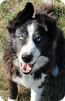 Border Collie/Husky Mix Dog for adoption in Glenrock, Wyoming - Rosie