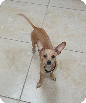 Chihuahua/Dachshund Mix Dog for adoption in West Palm Beach, Florida - BROOKLYN AKA BESTIA