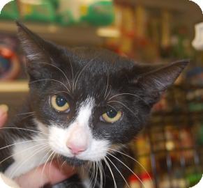 Domestic Shorthair Kitten for adoption in Brooklyn, New York - Betty