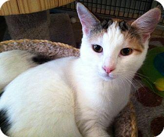Domestic Shorthair Kitten for adoption in Deerfield Beach, Florida - Lennox, Dawson, & Bowie