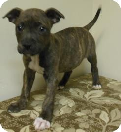 Pit Bull Terrier Mix Puppy for adoption in Gary, Indiana - Brandon