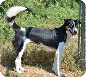 Border Collie Mix Dog for adoption in Stafford Springs, Connecticut - Cherri