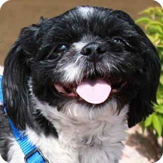 Shih Tzu Dog for adoption in Gilbert, Arizona - Cody