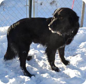 Border Collie/Labrador Retriever Mix Dog for adoption in Fruit Heights, Utah - Bo