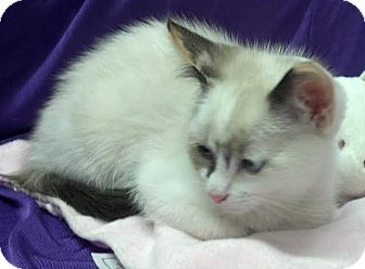 Ragdoll Kitten for adoption in Dallas, Texas - Chelsie