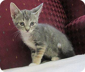 Domestic Shorthair Kitten for adoption in Lloydminster, Alberta - Agnes